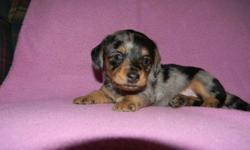 I HAVE ONLY FOUR DAPPLE PUPPIES LEFT.HAVE HAD FIRST SHOTS RAISED INSIDE.LOOKIN FOR FOREVER HOMES.PLSE CALL JUDI 1-306-342-4696 FOR INFO.NO EMAILS PLSE CANT ALWAYS CHECK.THNX