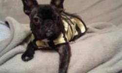 One year old mini french bulldog for sale. Weighs 21 pounds. Loves to play and go for walks. Comes with carrier, larger in home crate, food, toys, bed, and treats. He has lots of energy. Needs a good home!