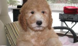 We have 1 female mini goldendoodle available from a litter of 8.  She is 12 weeks old and ready to go!!  She is a sweet loving girl who loves to cuddle.  She is non-shedding and will be about 35 lbs. She comes with her 1st shot, is dewormed, vet checked,
