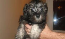 I have 5 pure bread Schnauzer puppy's to go to new homes 1 female 4 males already had there shots and dewormed checked by vet puppys are dark and light salt and pepper.  they are hypoallergenic And don't shed