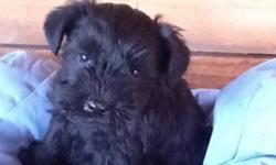 3 lovely all black mini schnauzers, 2 females and one male. The sire is a French import with Champion lines, dam is a well bred US import. Parents are CERF certified. We have been raising schnauzers for 12 years Ready to go to new home Jan 14th. CKC