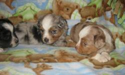 BEAUTIFUL PUPS WITH BLUE EYES! MATURE GROWTH IS 10 INCHES! CAN REGISTER FOR EXTRA.   PLEASE CALL DAWN AT 403-638-7363   NO E-MAILS PLEASE!