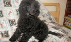 TreasurePets (reg'd) Available Immediately 2 Male Black Miniature Poodles Champion Sired.  One male is going to be smaller the other male is going to be a full size mini. We also have 2 brown male miniatures that will be ready to go the end of January. We