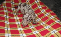 BEAUTIFUL SH MINIATURE CHOCOLATE/TAN DAPPLE FEMALE DACHSHUND   SOCIALIZED & PEE PAD TRAINED   VET CHECKED & HAS 1ST SET OF VACCINATIONS   COMES WITH VET RECORD & PUPPY PACK   PLEASE EMAIL OR CALL 306-480-8306 IF INTERESTED
