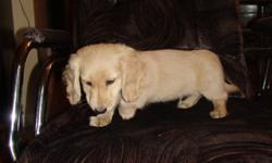 """1 male Miniature Long Haired Dachshund puppy left available for his forever home. Rare English Cream. Parents are on site and are available for viewing. """"This is NOTa  puppymill dog."""" He is a loveable, loyal and loving little dog. Don't miss out on this"""