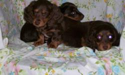 Long Haired Miniature Dachshunds in unusual colours. Two Chocolate and Tan puppies.....2 male. $495 One Chocolate Fringed Reds. 1 male. $495 One Chocolate Dapple Male. $500. One Rust/red Male . $400. Last two pictures are of Mom. (Sorry about the red
