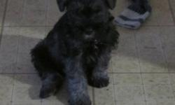 """Miniature Schnauzer Puppy.  Wonderful family pets & non-shedding  as well.  Only 1 boy left.  This pup has a lovely temperment and is very much """"people"""" oriented.  He will be CKC registered & comes with 6 weeks of health insurance.  $550.00"""