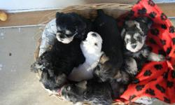 - Available: white, black and silver, salt and pepper - Non-shedding, non-allergenic - Great apartment dogs - First shots/deworming provided - Tails/dewclaws done - Delivery available
