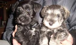 Non Shedding , Non Allergenic, Miniature Schnauzers. tails docked and dew claws removed. vet checked. House pets. Phone 403-901-1792. Price is firm. Call for appt. Ready to go.