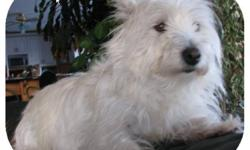 Petite all white West Highland White Terrier (Westie). Black nose and on bottom of paws. Submissive and friendly. Missing from the Stavely area (between Calgary and Lethbridge) since mid-October. $500 Reward offered. She escaped from our yard and I am
