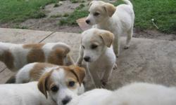 Mixed breed puppies ready to go. 3 males left. they are very cute and playful.