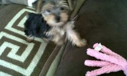A LITTLE SWEETHEART!!! Female puppy. Born Aug.12/11. Her full weight will be between 4-5 lbs. Already had first shots.