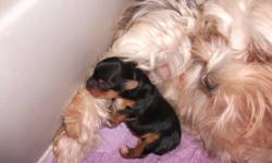 Are you looking for the cutest pup ever? I have 1 (one) female 'morkie' named 'Bella'. mom is half 'yorkie', half 'maltese' so called - 'morkie' and dad is pure 'yorkie', so pup is only 1/4 'maltese'. beautiful markings, as photo shows. needs lots of love