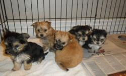 Father is a 3lb Yorkie, Mother is a 7 lb Maltese. They are going to be vet checked on Wed or Thursday, dewormed and will come with their vet book and food they are on. If interested we are accepting deposits to hold the puppy of your choice. 3 females