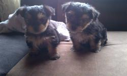 Morkie puppies 4 sale - Mother is an 8lb Maltese, Father is a 6lb yorkie Two males was all she had, they have had their Tails docked and will come vet checked and shots Up to date. Very trainable, lovable. Puppies!