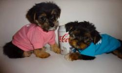 Morkies puppies for sale, extremely cute and very affectionate.    416-841-6375 to come and meet them. Adult size: 5-6lbs fully grown.  Puppies were dewormed, checked by a vet and got 1st set shots.   They are also non shedding and hypoallergenic, very