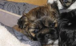 male apricot with black markings shih-ztu.  Great family pet, hypoallergenic non-shedding, comes with 1st shots and dewormed.  Ready to go early november 2011.  call sylvie 360-9001