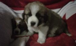 These beautiful babies need a forever home!!! Born Sept 14, 2011. Shots and dewormed Nov 3, 2011. COMING TO LETHBRIDGE AREA ON NOVEMBER 25, 2011 and would be willing to deliver!!!!!! 4 females, Very social with small children (as I have 10 grandchildren