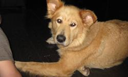 We are fostering a, what looks like, malamute golden retriever mix for NAR(northern animal rescue). She is an XL size and is approx. 2 years old. She is very gentle and loves going for walks. She gets along with other dogs and is very good with kids. She