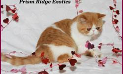 REGISTERED RED SPOTTED TABBY & WHITE - EXOTIC SH (SHORT HAIRED PERSIAN) - FEMALE - KITTEN AVAILABLE.  EXOTICS HAVE THE SAME SWEET TEMPERAMENT AS THEIR PERSIAN COUSIN. THESE FUN LOVING CATS MAKE A GREAT FAMILY ADDITION.   THIS GIRL HAS A SWEET EXPRESSION