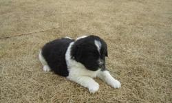 I have an amazing litter of 7 Newfoundland Puppies that are ready for their new homes just before Christmas. The litter is Registered with APRI and I own both parents. Mom is a Black and White Landseer and Dad is Blue. SOLD   -  Black Female  Thankyou