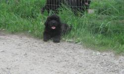 We have 3 beautyful black Newfoundland puppies they looking for there for ever homes. Both purebred parents on side   We taking deposits now,delivery avalible