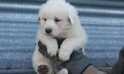 7 newfoundland x burnese x pyrenese puppies.  Males and females available.  Parents are both friendly, raised with kids and sheep.  Would make excellent family pets and yard dogs.  Delivery available.