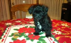 NON SHEDDING Bichon/Poodle male puppy     Non-shedding Bichon / Poodle puppy- only one male available born, October 9, 2011!! Super friendly and playful, he is wonderful family dog as he is great with children of all ages. Parents are in excellent health
