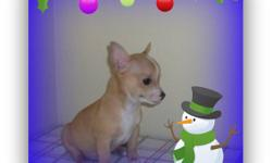 Gorgeous Chihuahua Puppies,Ready for their new loving home, 3 males and 1 Female,they are very active,friendly,and playful little one,love to cuddle on the couch with,Come with first shot,dewormed,and a full vet check,also come with a 1 year,written