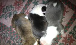 Hello,  We have just had a litter of Olde English Bulldogge's. They were born on January 26th, and will be ready for their new homes around the 20th of March.   We have 5 females left. ***Pics are of Mom and Dad, and all females available.***