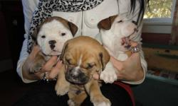 Bulldog Puppies For Sale   Now taking deposits. Beautiful markings, must see. Parents on site. For more info call Doug @ 403-464-0170