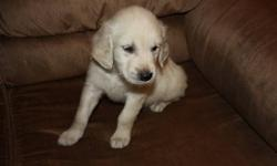 I have one of 11purebred Golden Retriever puppies left I origanally was going to keep one but I do not have time for a second puppy, so this is your chance to get an amazing new member to your family. This friendly and loving puppy has his first set of