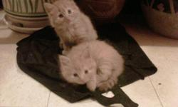 I have four baby male kittens, who have just turned 8 weeks old a few days ago (Born Oct 7th)! Such sweet little things, so playful and loving. Two orange, one grey and one black. They need a loving forever home! They are very friendly, great with people
