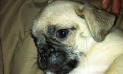 We have 1 female jug puppy left from our litter looking for a loving home please call Nicole at 289-228-7038 thank you This ad was posted with the Kijiji Classifieds app.