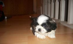 I have two male pups that will be ready to go to a new home new years. They are all very healthy and full of playful personality. The Shih-tzu's really are a people pleasing breed. Easy to train and great with kids. Non shedding and the best house