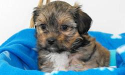 She is NON_SHEEDING, super cute and is very small. She will only mature to be around 7 -8lbs as an adult. Her mom is a 10lbs Shih Tzu and her dad is a 5lbs Yorkshire Terrier. She is mostly brown with a small amount of black and has a small white tip on