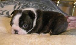 """**REDUCED PRICE**Happy, healthy babies need to get into their new homes now to take advantage of the critical bonding period!. Classic dark Brindle Boston Terrier babies also have the Boston Terrier trademark """"thumbprint"""" on the tops of their heads. Both"""