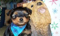We have only have 1 Yorkshire Terrier puppy  left for  sale.  The male is $ 750  ONLY 4 DAYS BEFORE CHRISTMAS.  This cute little male puppy would make a great Christmas present or a New Years Present for some one special or the family.  We know that times