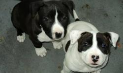 Parents are registered ckc purebred, have great temperment,are good at guarding the house and with children.1 dark male & 1 white female pup. Both are healthy,vet checked and housebroken.These pups are a very rare breed. This will be the only breeding as