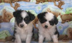 These puppies are cute as they come. Selling for much less than they are worth to find them a good loving home. They will mature at 10-12 inches. 2 females left that will fill your house with so much love over the holidays.   Please call Dawn