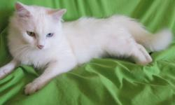 Female med lenth all white cat she is 2 years old.she is exl. with small childern and othe cats,very friendly to strangers shes a real plesent cat,she is still playful loves her toys.she has had 2 litters in the past.looking for a loving home..