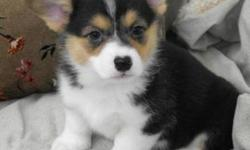 These puppies are Pembrooke Welsh Corgi's, the type of dog that the Queen has! They are a very sturdy, smart, loyal and outdoorsy type of dog. They have a weather resistant coat which helps them be outside whenever they choose. They have a high energy