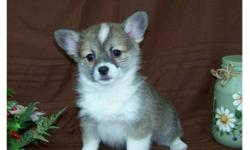 A beautiful blend of two great breeds.  The corgi mother  is a very intelligent and loyal dog and the long coat chihuahua father is super sweet and playful with a very loving temperament.  Previous owners of this cross love that they are much smaller than