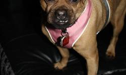 Meet Penny! Penny is approx. 5 years old. She is a Puggle (Pug/Beagle X), but we think she may have some Chihuahua in her too. She is up to date on shots, spayed and recently had a dental. Penny does have a eye condtion called 'dry eye'. She takes daily