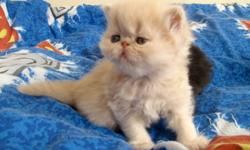 Beautiful Pure breed Persians kittens in different colors, extremely flat faced. Our kittens socialized, and  very playful.Kittens are coming with set of vaccinations, de-wormed;  have health records, and CFA registered; Litter trained.   All kittens from