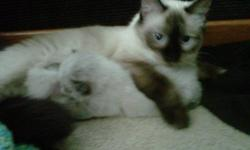 Male kitten ( 2 months old) for sale ($90), and Himalayan/Siamese female (just over a year old) ($50) Possibly pregnant. Will deliver.