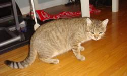 """Meet """"Fiona"""", she is a rescue who is a beautiful short haired light brown tabby with big green eyes. Looks like a mini cougar!! She loves to be scratched and petted, she is a sweet petite girl. I can see she is a good natured cat. She has just finished"""
