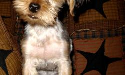 PICK A PUPPY OPEN HOUSE Saturday December 17 th 12:00PM - 3:00 PM Come visit us for coffee, cookies  and maybe a puppy too.   Purebed Yorkie puppies available for adoption. 1 male and 2 females to choose from. 650.00 each.   Each pup has had a bath, hair