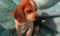 We are the 13 inch tri color pocket beagles. boys and girls, ready to go. Vet checked...Vaccinated...micro chipped....written health guaranteed. We are family raised, happy, healthy puppies,sweet as pie. 604-839-9650