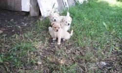 Two fuzzy males, one smooth hair female. Very cute & fuzzy, excellent temperment. They love people! Please phone Sharon 780-745-2384. No emails please!